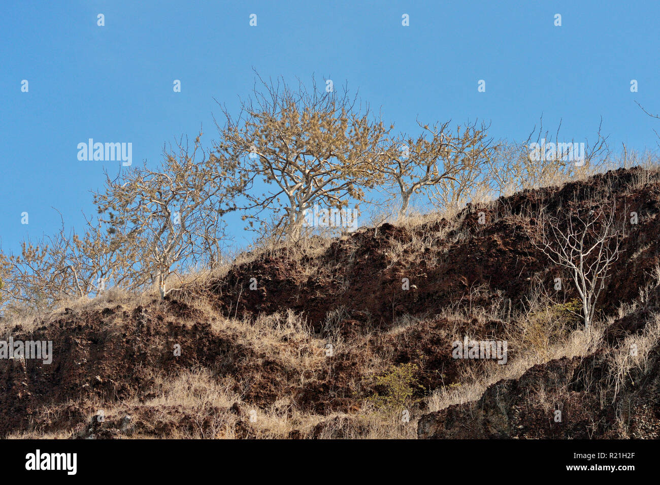 Sparse vegetation on arid, rocky cliffs of Hood Island, Galapagos Islands National Park, Espanola (Hood) Island, Ecuador - Stock Image