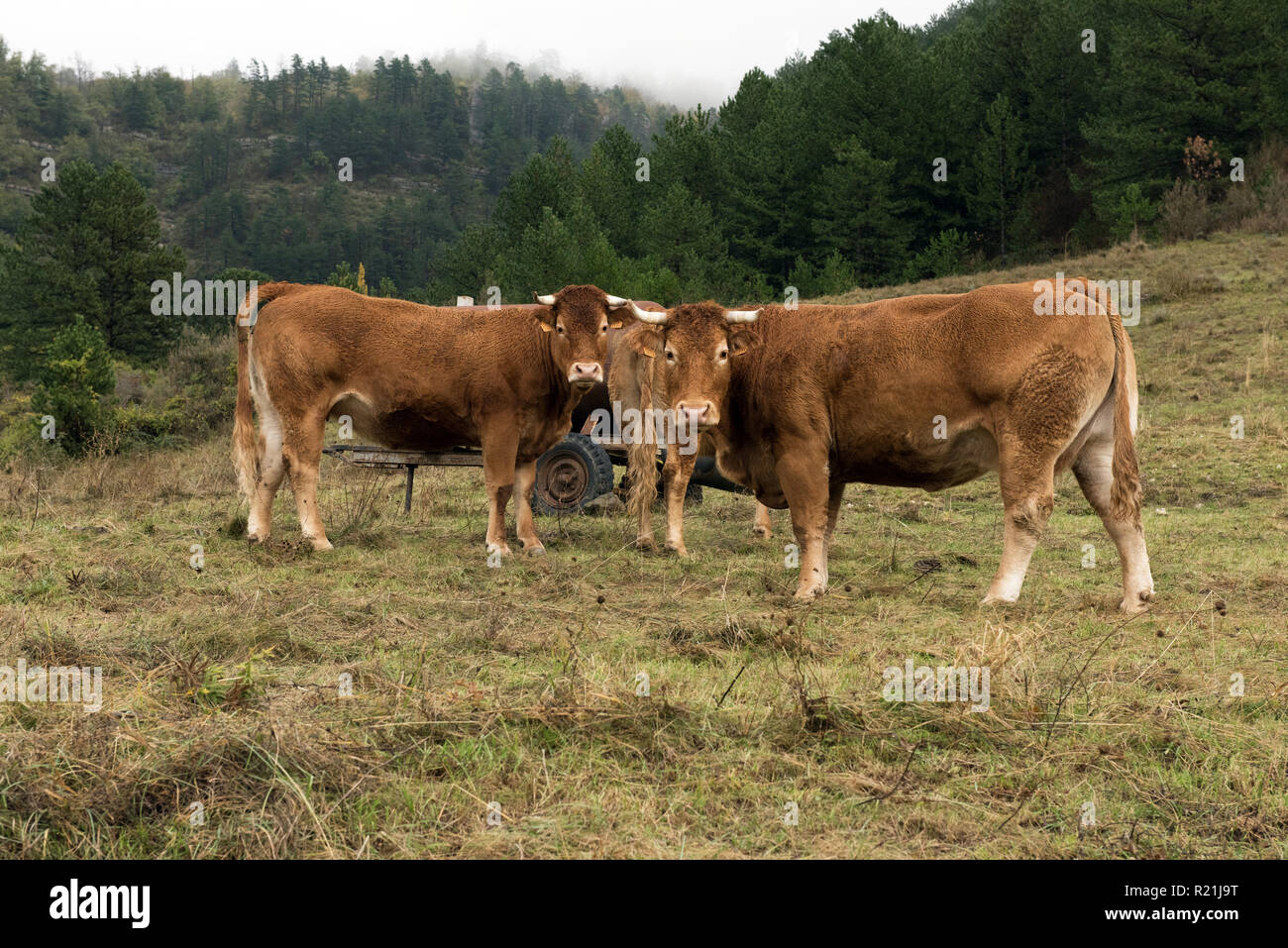 Cows Ardèche France - Stock Image