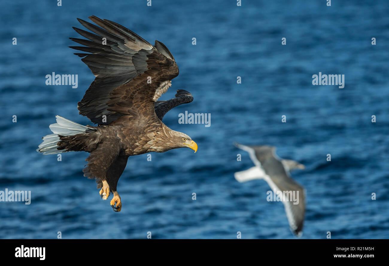 Adult White-tailed eagles fishing. Blue Ocean Background. Scientific name: Haliaeetus albicilla, also known as the ern, erne, gray eagle, Eurasian sea Stock Photo