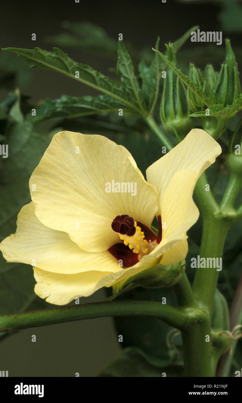 OKRA FLOWER (ABELMOSCHUS ESCULENTUS) ALSO KNOWN AS GUMBO OR LADY'S FINGER - Stock Image
