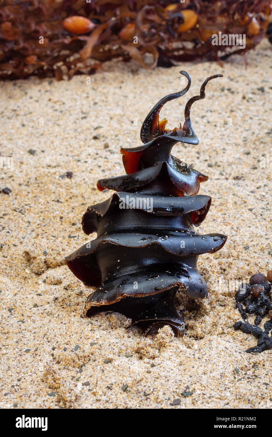 Shark egg – a Port Jackson Shark, Heterodontus portusjacksoni egg found on beach, NSW, Australia - Stock Image