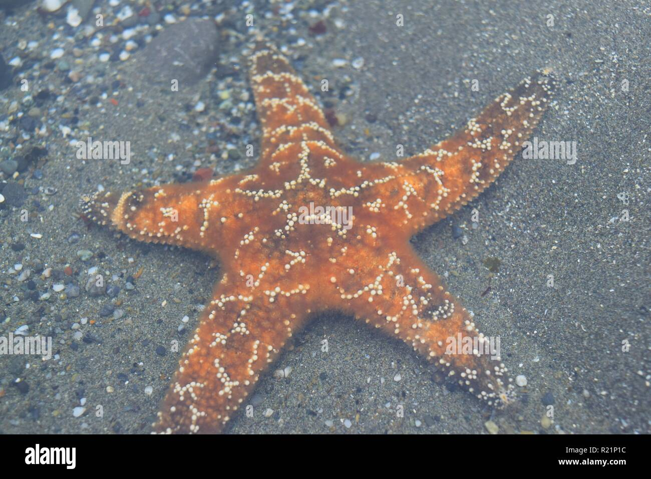 Close Up of Orange Starfish in Tide Pool - Stock Image