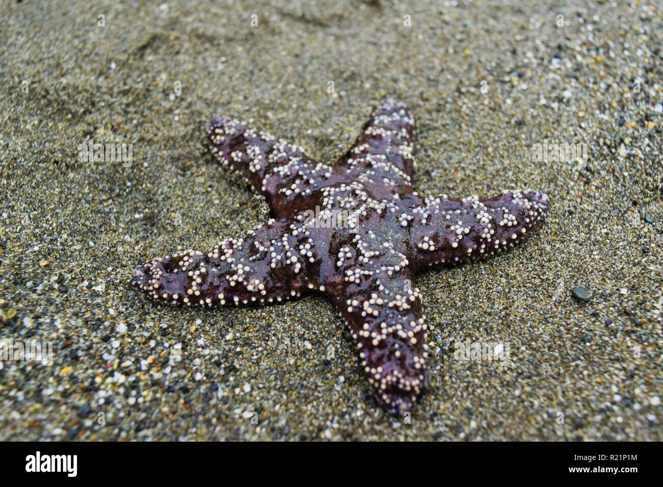 Close Up of Starfish in Tide Pool - Stock Image