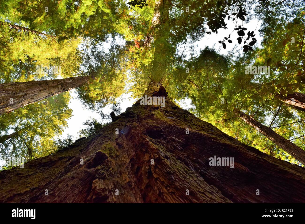 Looking up in the Redwood Forest Stock Photo