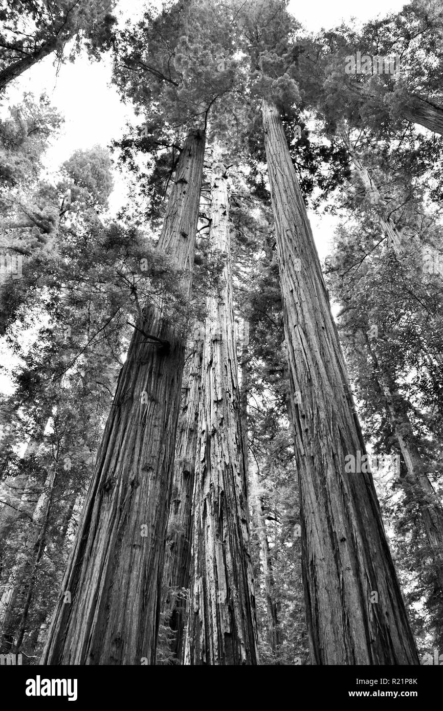 Redwood Trees in Jedediah Smith Redwoods State Park in black and white - Stock Image