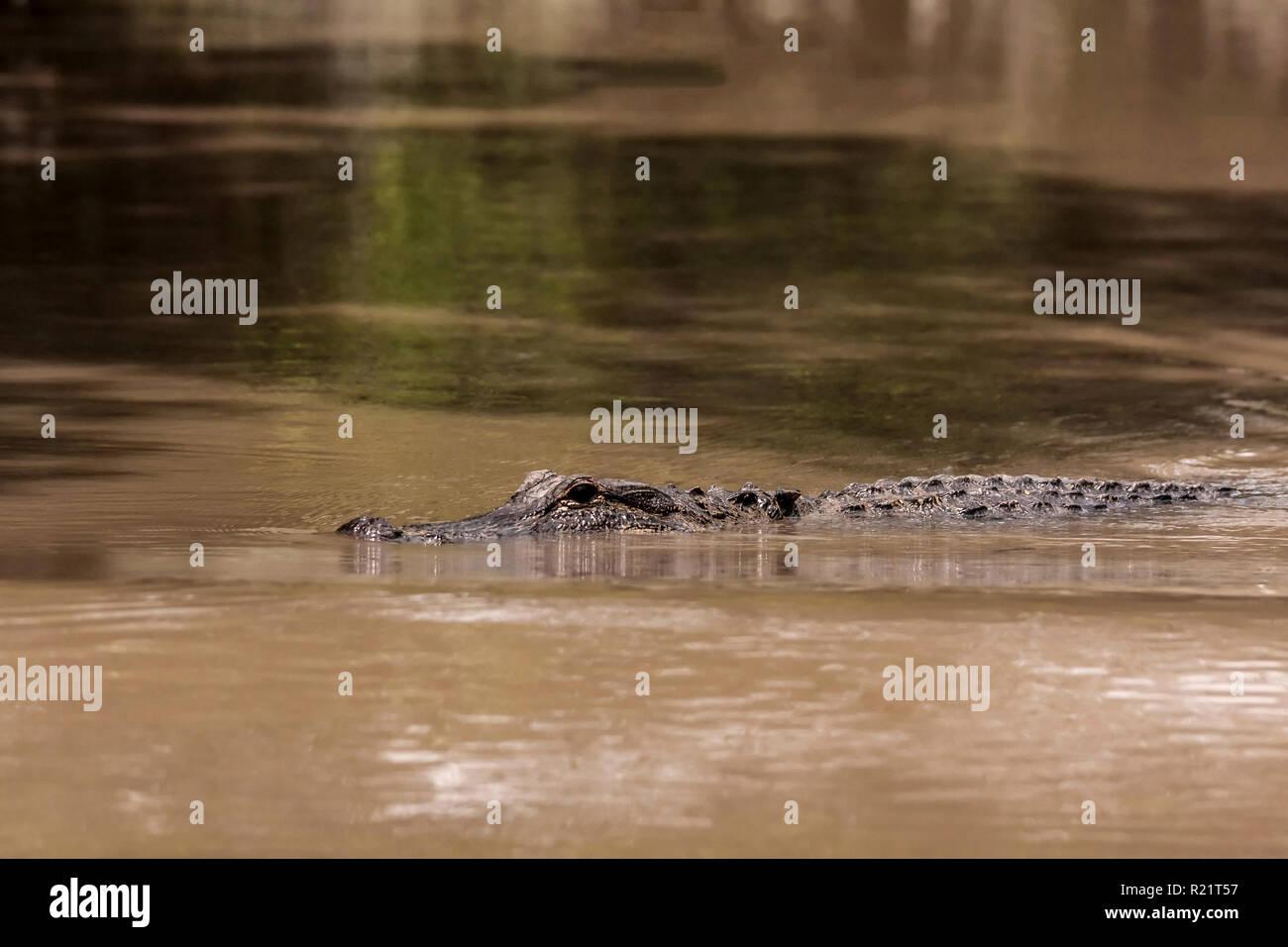 American crocodile in a water - Stock Image