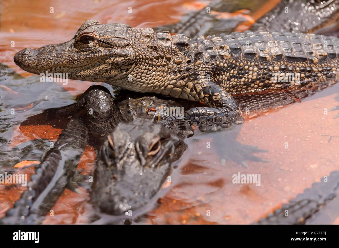 Two crocodiles - Stock Image