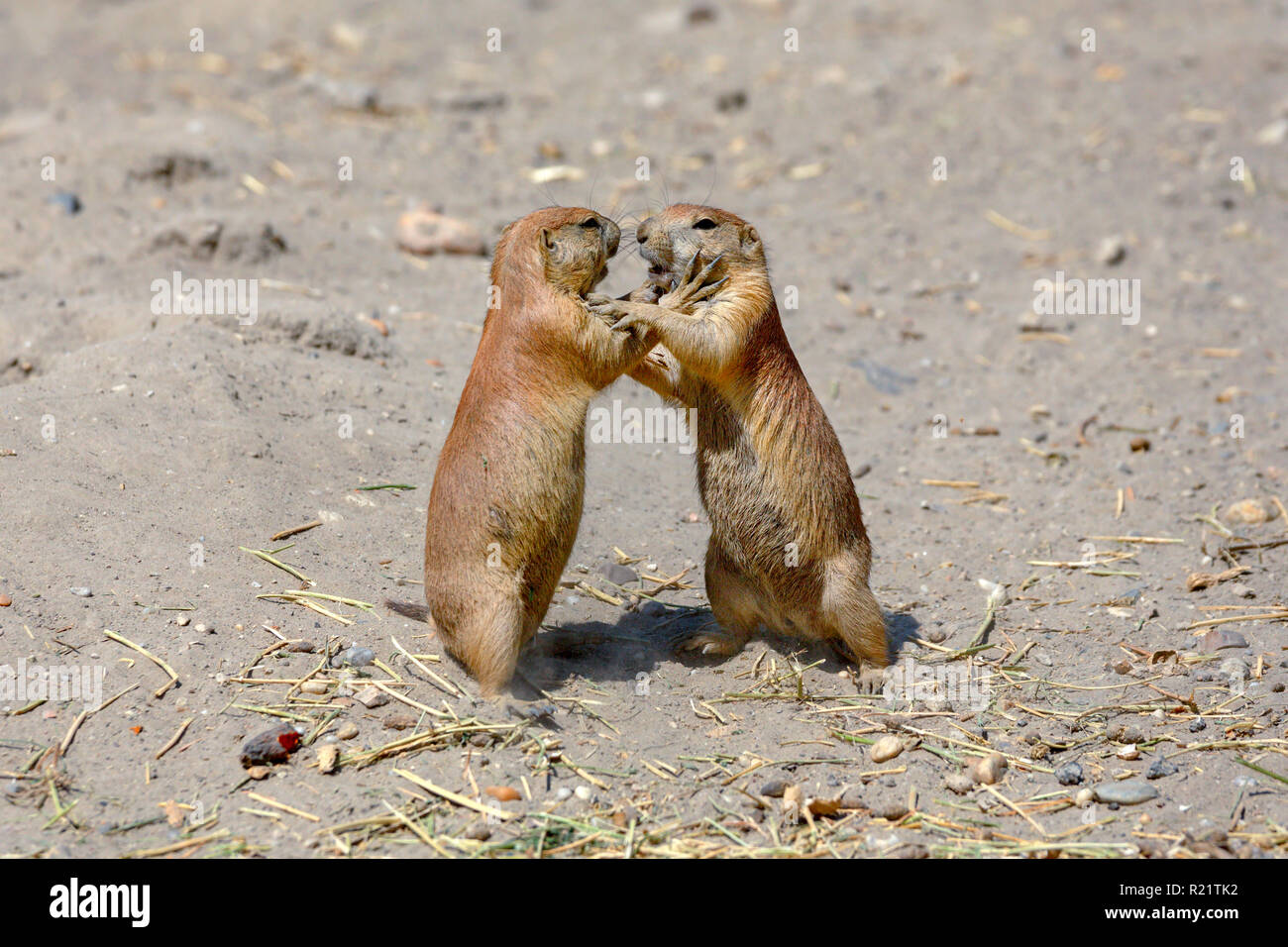 Two marmots in the natural environment - Stock Image
