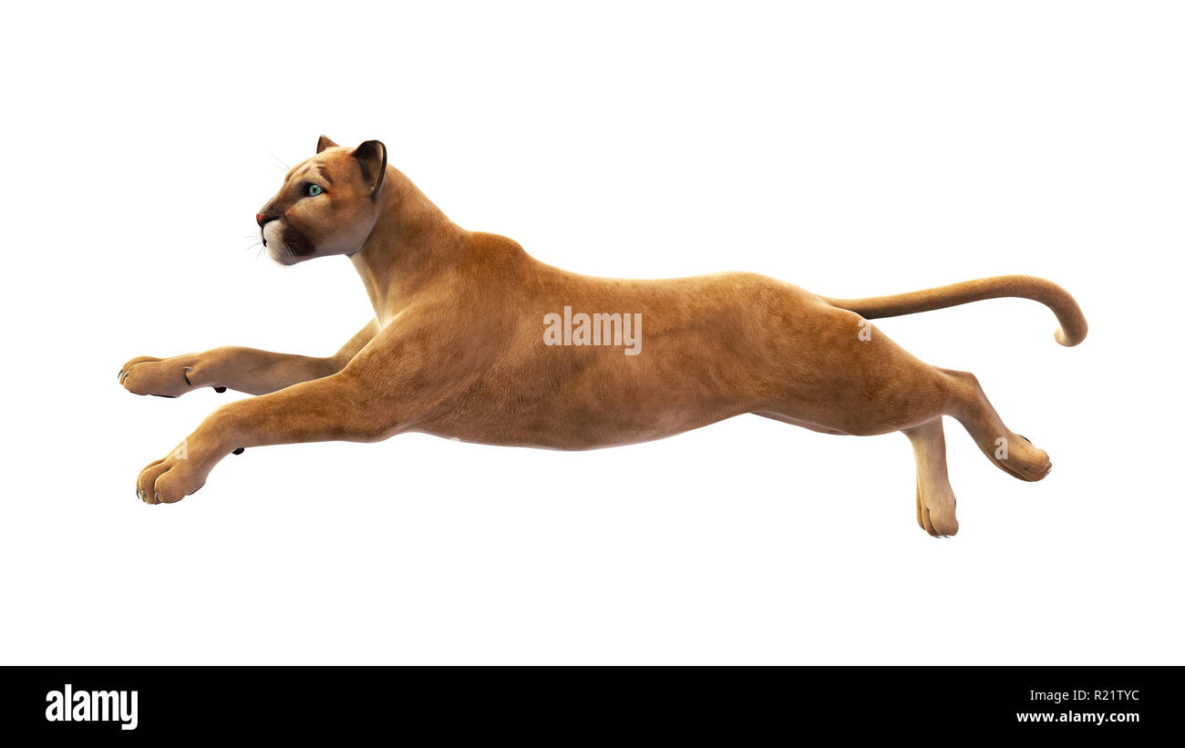 Puma, mountain lion leaping, wild animal isolated on white background - Stock Image