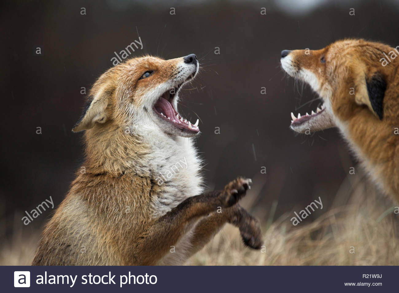 Young Red Fox are played - Stock Image