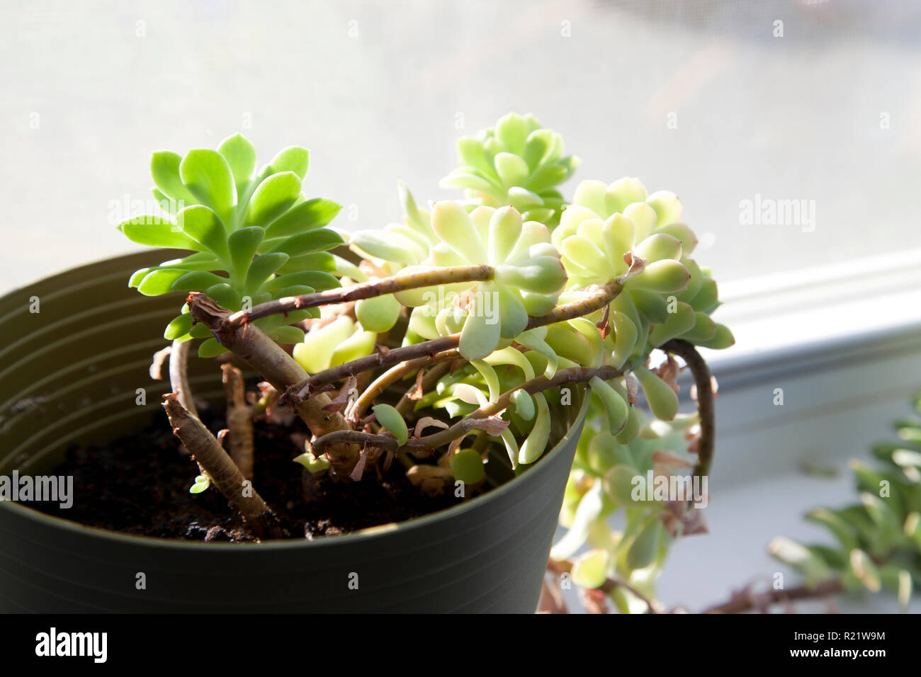 Green succulent soaks up the sunshine in the window - Stock Image