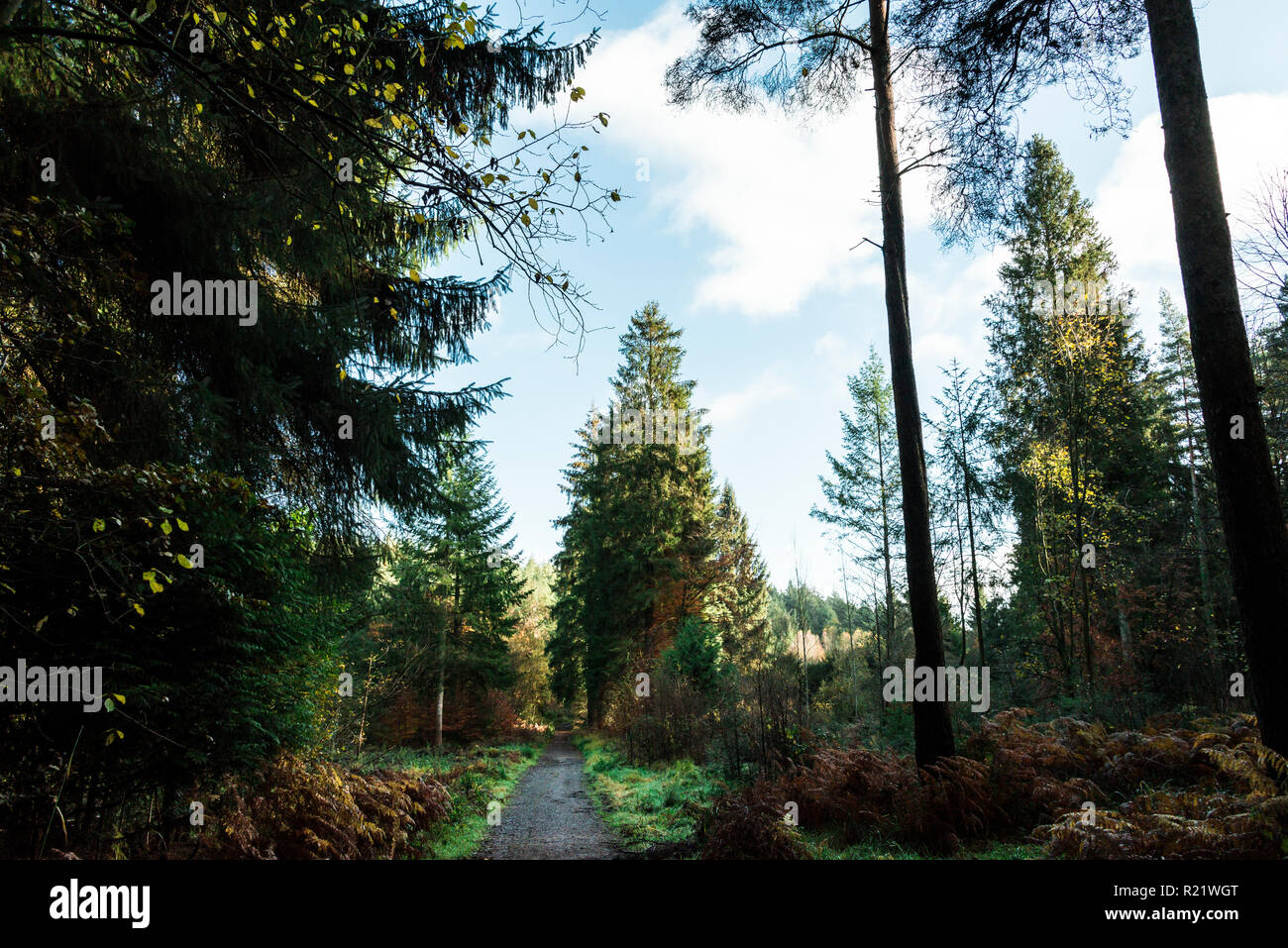 A path in mixed coniferous and deciduous woodland in autumn - Stock Image