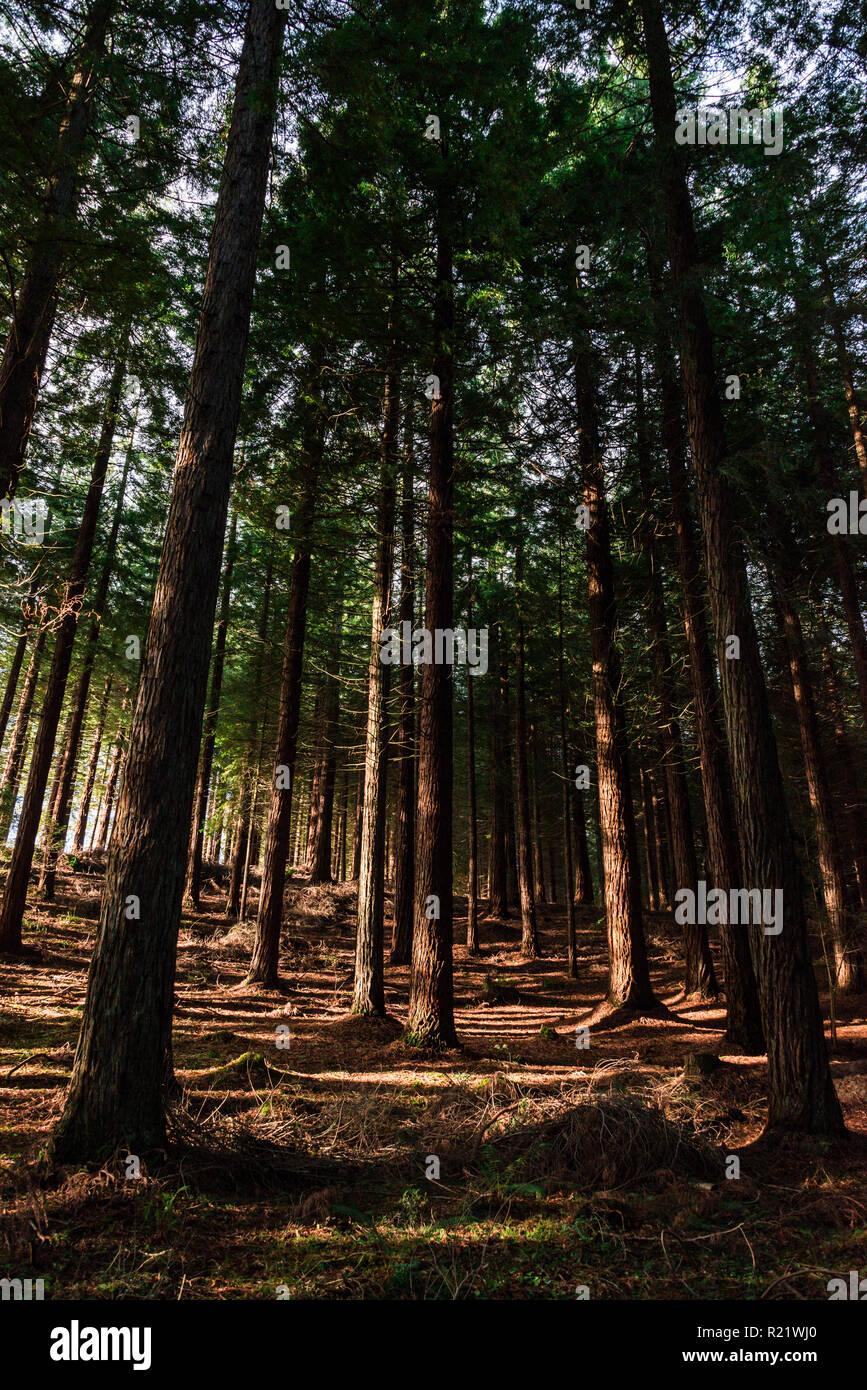 Coniferous woodland in autumn - Stock Image