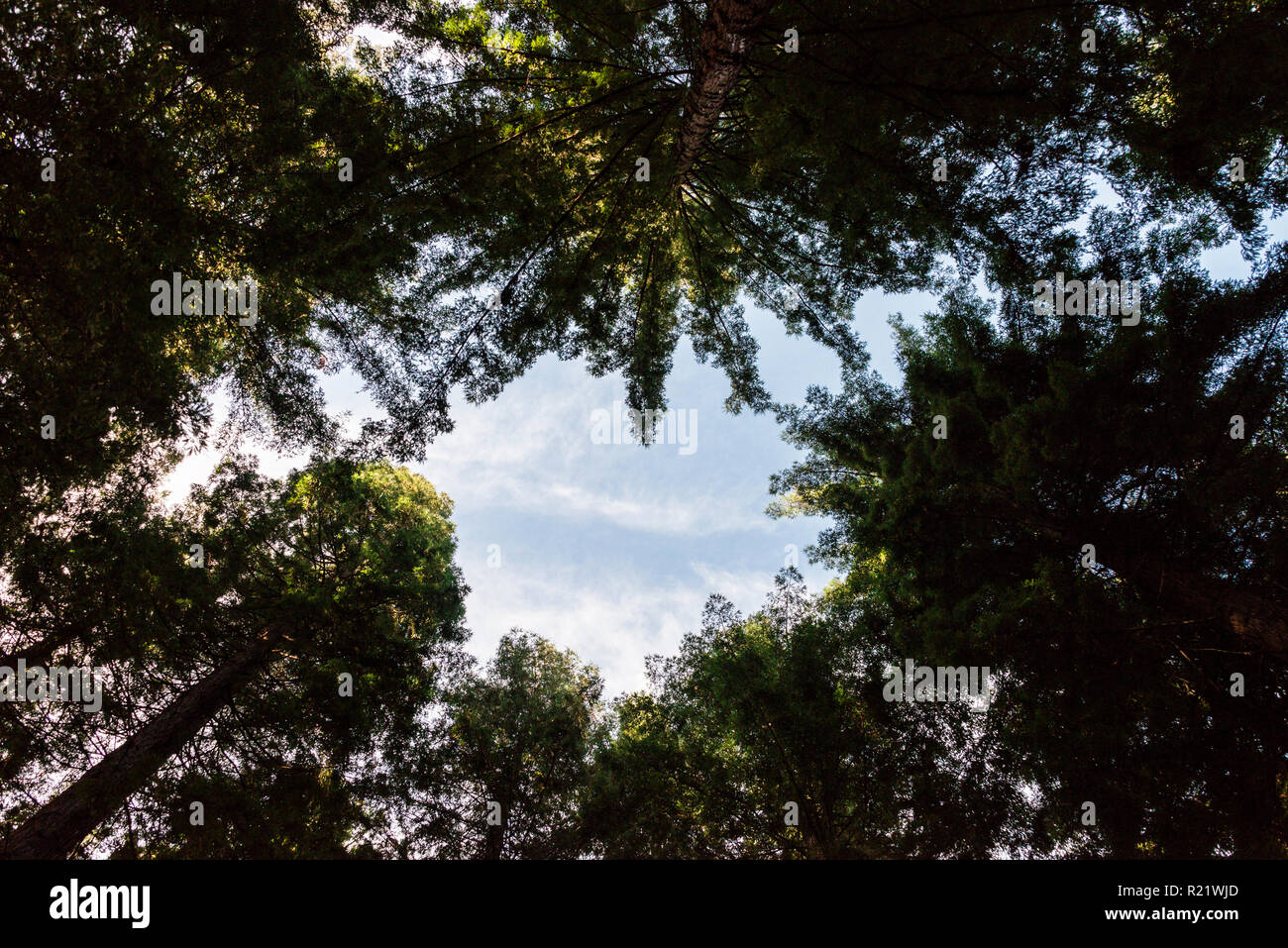 Looking up through coniferous trees - Stock Image