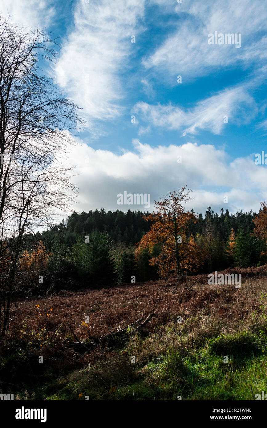 Mixed coniferous and deciduous woodland in autumn - Stock Image