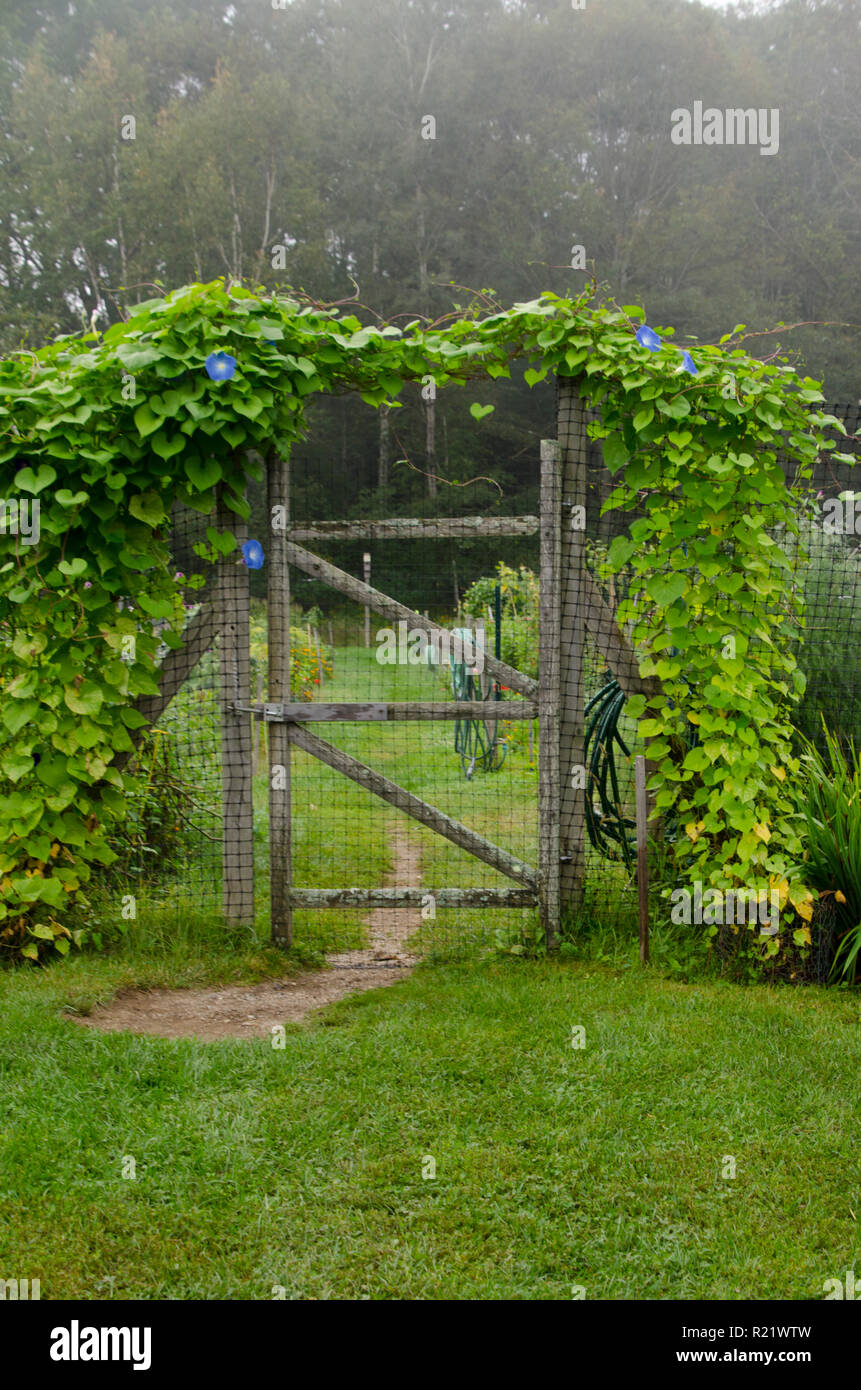 Gate to community garden covered with morning glories, Yarmouth< ME