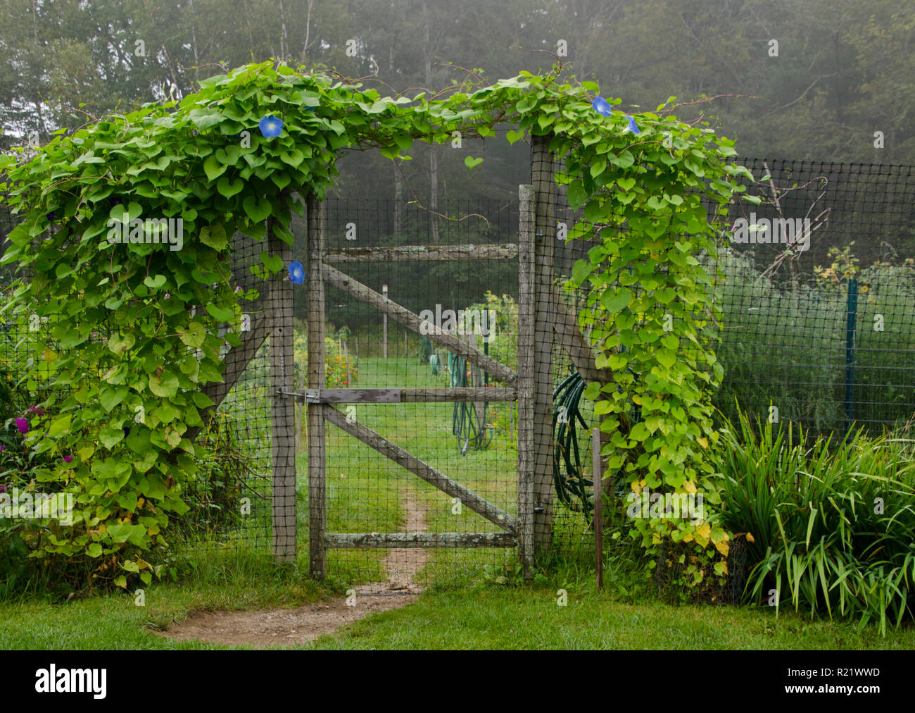 Gate to community garden covered with morning glories, Yarmouth< ME - Stock Image