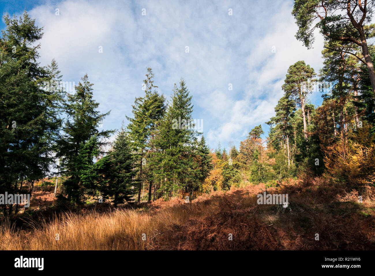 Coniferous trees in woodland in autumn - Stock Image