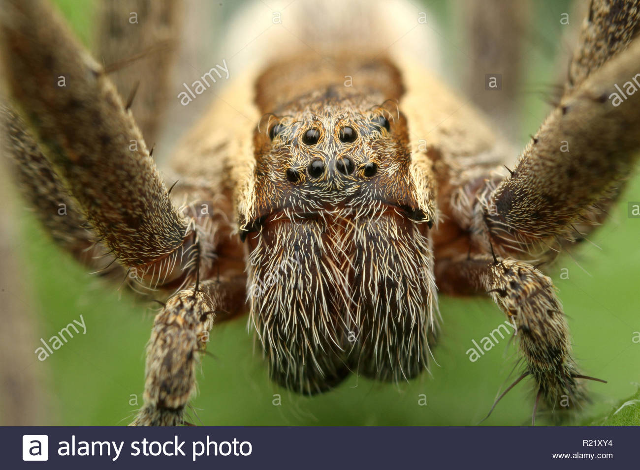 Jumping Spider Wolf Spider - Stock Image