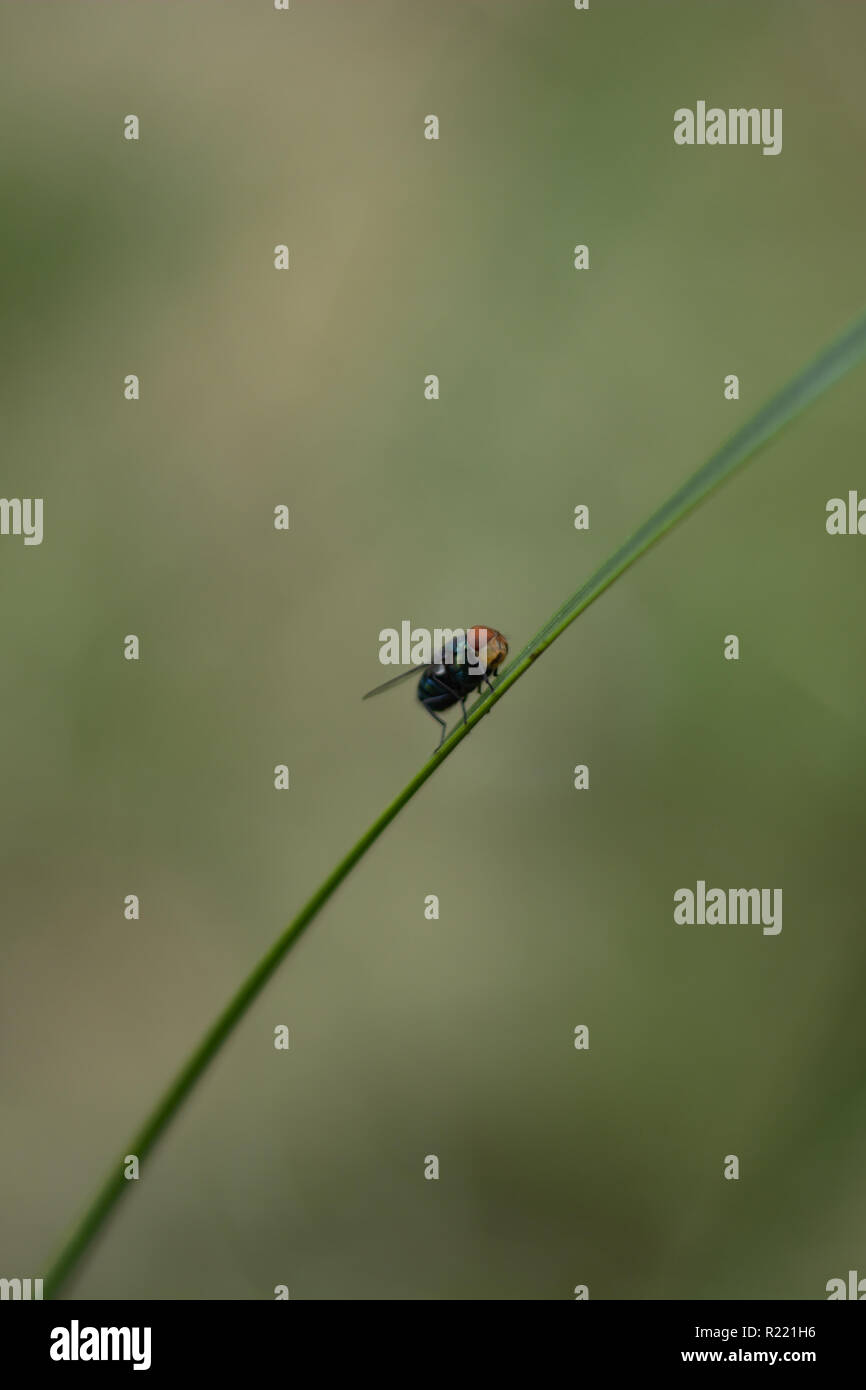 Fly on a blade of grass in the backyard - Stock Image