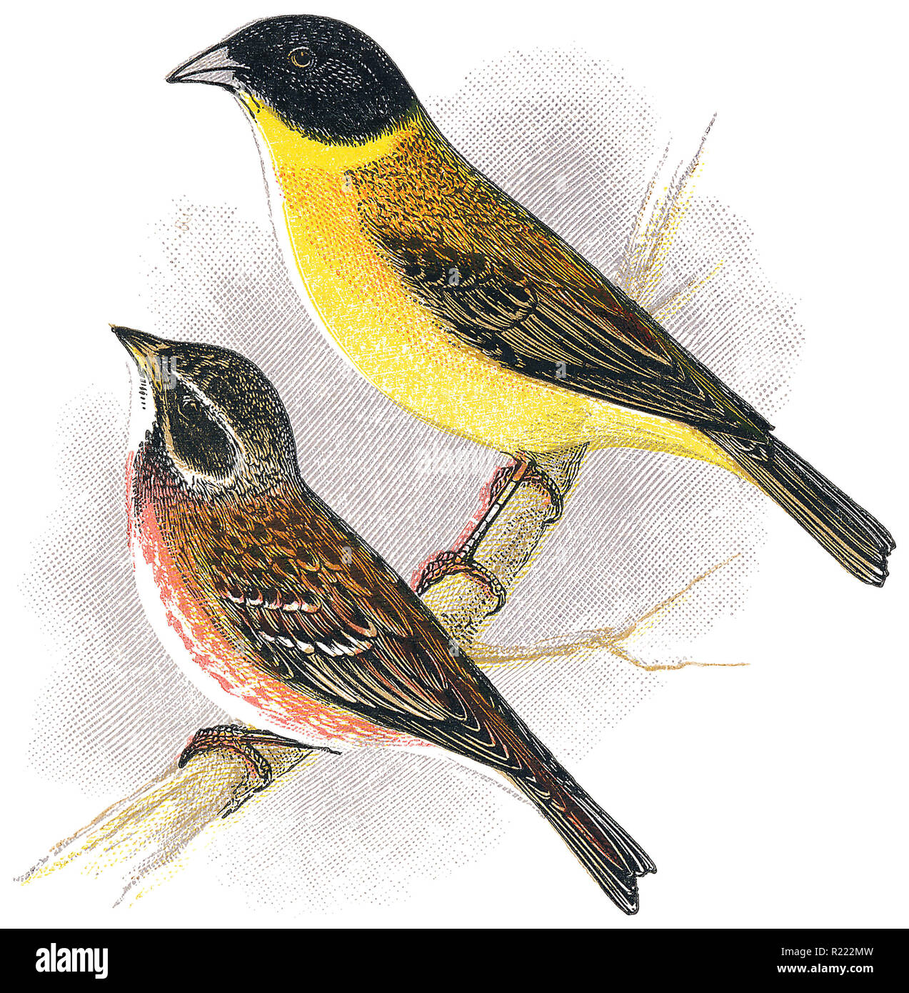 1898 colour engraving of a rustic bunting (Emberiza rustica) and a black-headed bunting (Emberiza melanocephala). - Stock Image
