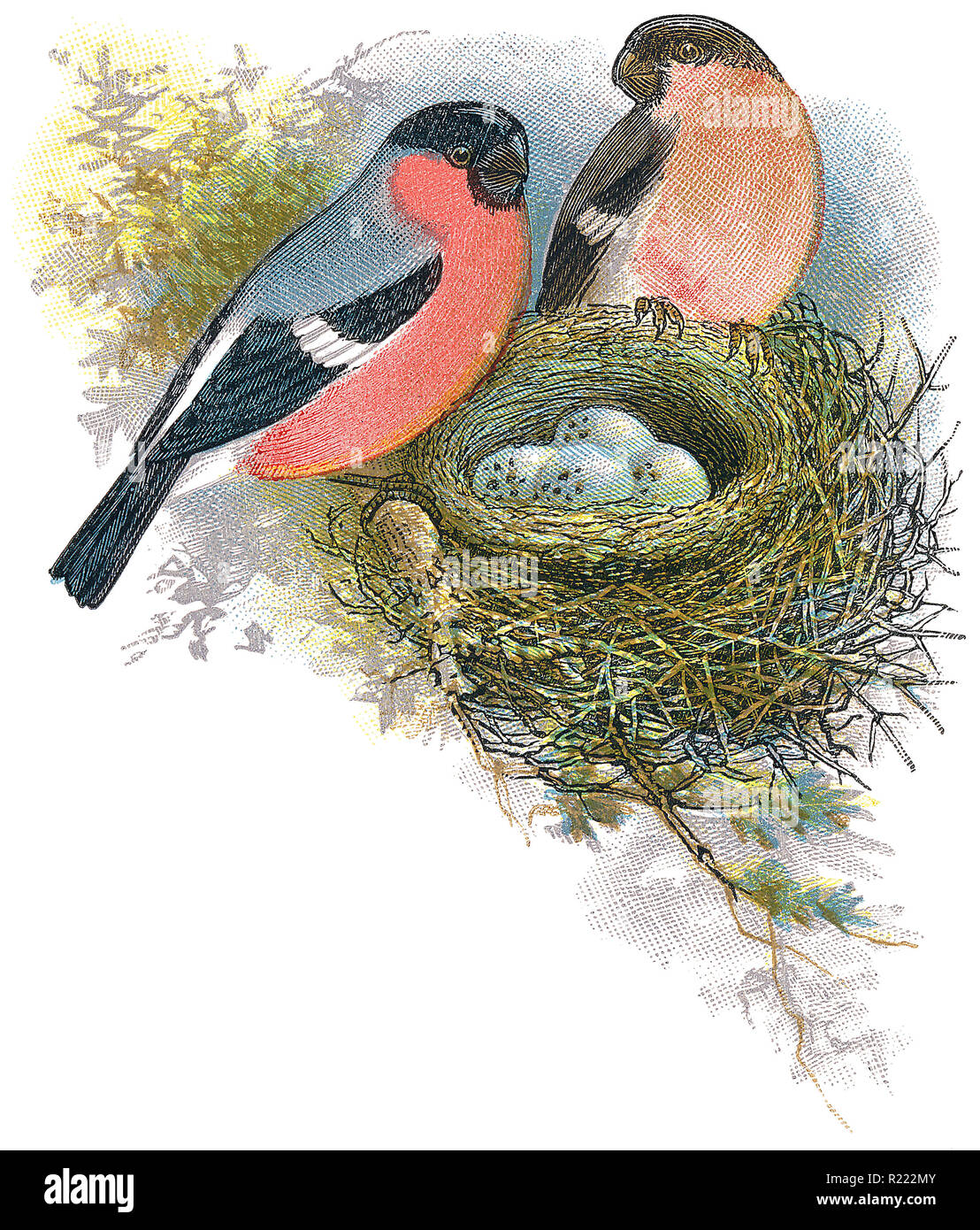 1898 colour engraving of male and female bullfinches (pyrrhula pyrrhula) with nest and eggs. Stock Photo