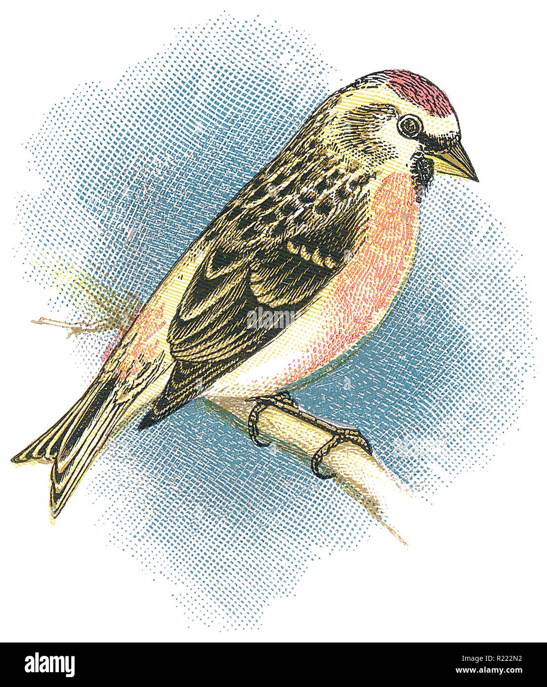 1898 colour engraving of an Coues' arctic redpoll (acanthis hornemanni exilipes). - Stock Image