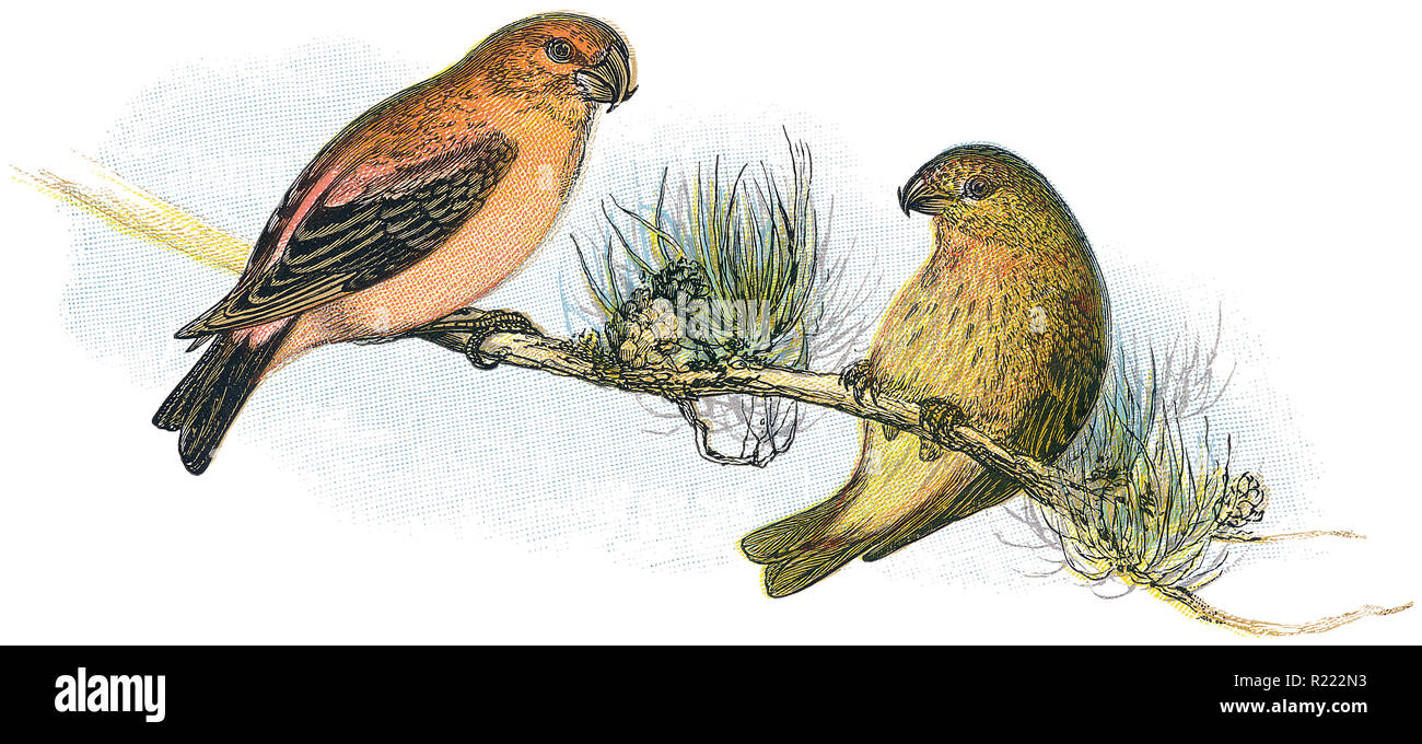 1898 colour engraving of a male and female red or common crossbill (loxia curvirostra). - Stock Image