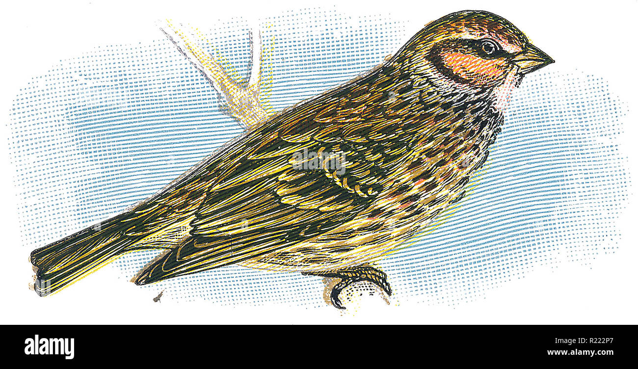1898 colour engraving of a little bunting (Emberiza pusilla). - Stock Image