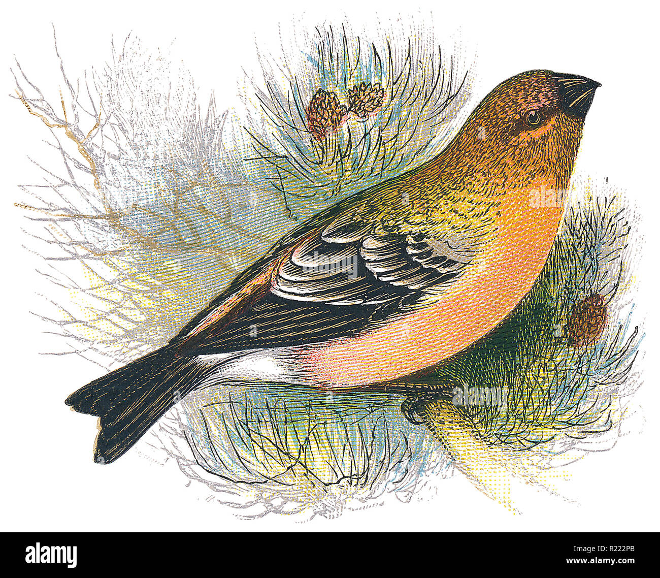 1898 colour engraving of a pine grosbeak (Pinicola enucleator), a member of the finch family. - Stock Image