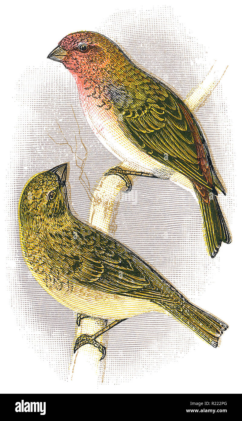 1898 colour engraving of male and female common rosefinches (Carpodacus erythrinus). Stock Photo