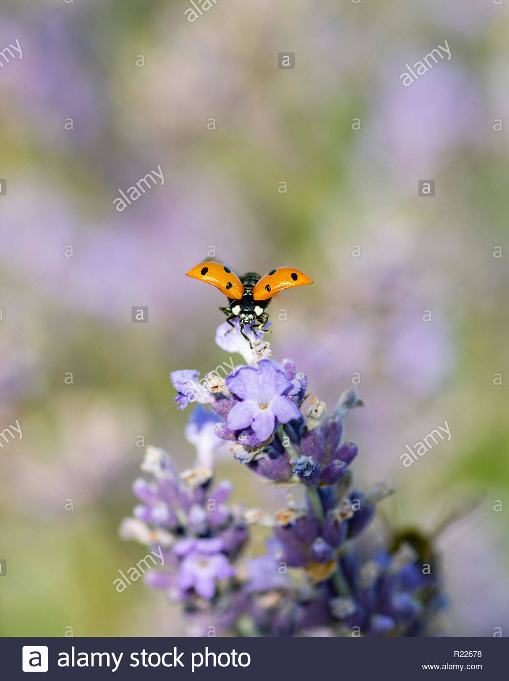 Macro image of Ladybug on lavender flowers. Note-Selective focus Stock Photo