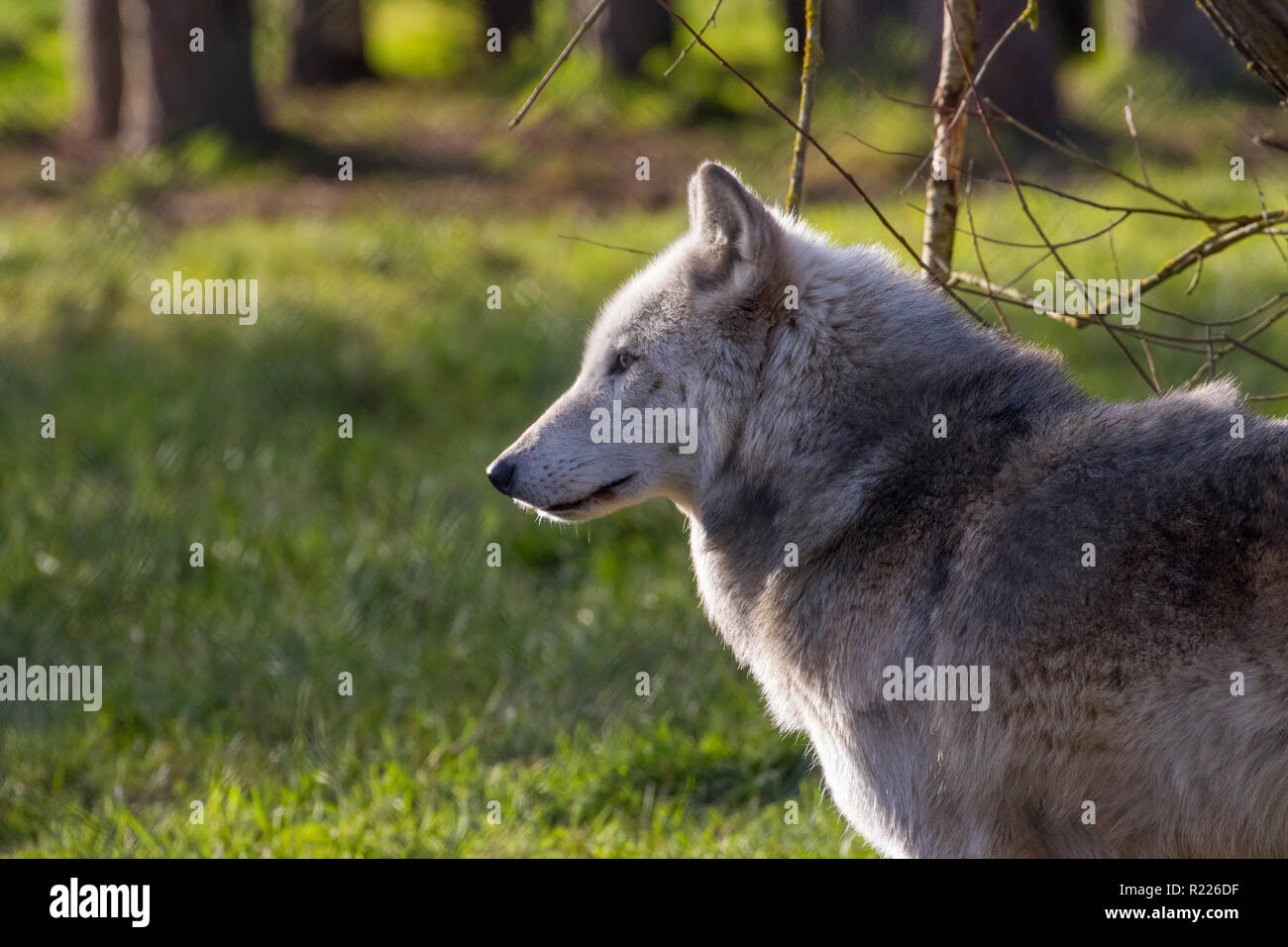 Wolf (Canis lupus), also known as the gray wolf, timber wolf, western wolf - Stock Image