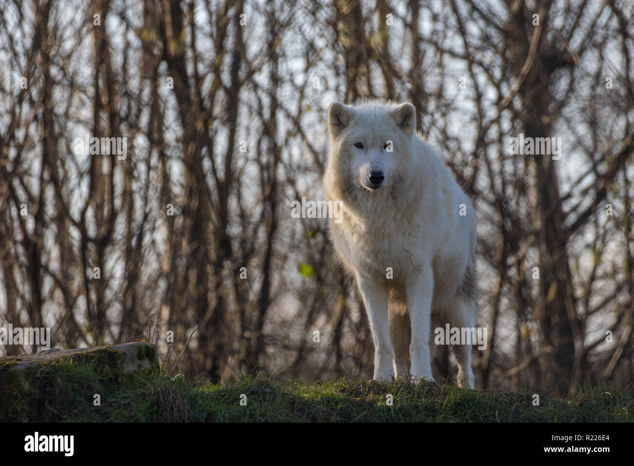 Arctic wolf (Canis lupus arctos), also known as the white wolf or polar wolf, - Stock Image