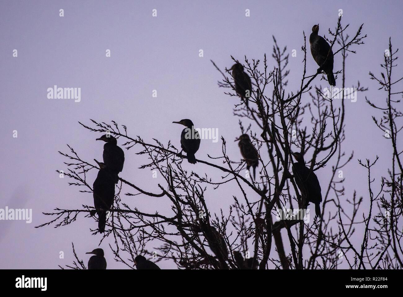 Rattelsdorf, Germany. 16th Nov, 2018. Numerous Kormorane sit in a treetop in the dawn. Credit: Nicolas Armer/dpa/Alamy Live News - Stock Image