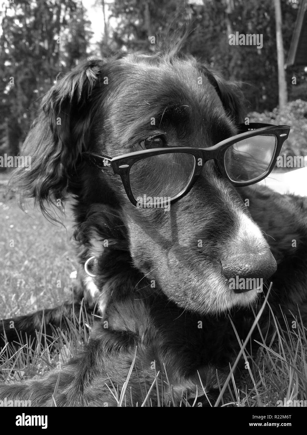 THE INTELLECTUAL DOG - Stock Image