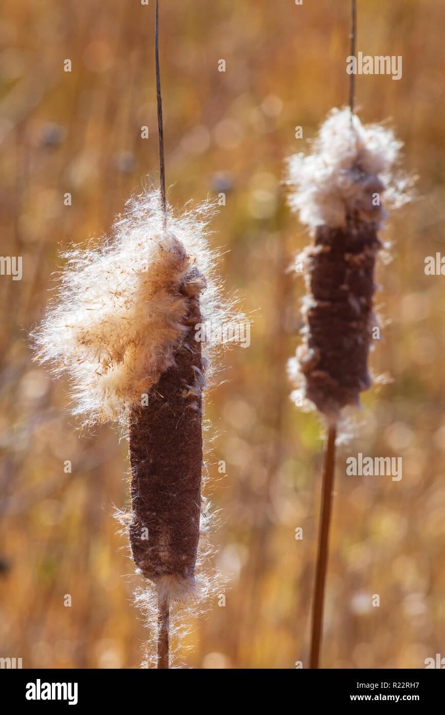 Broadleaf Cattail (Typha latifolia) plants in fall morning breeze showing seed dispersal in wind, Castle Rock Colorado US. Photo taken in November. Stock Photo