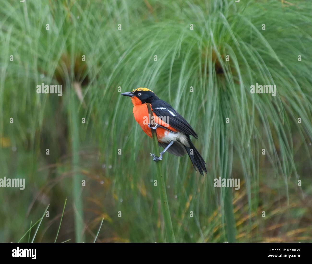 A near-threatened papyrus gonolek (Laniarius mufumbiri) perches on a papyrus stem in its usual habitat of a papyrus swamp. Queen Elizabeth National Pa - Stock Image