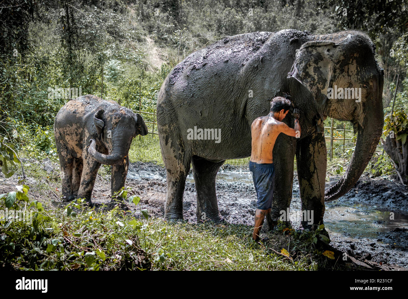 Elephants having mud bath in the deep northern forest of Chiang Mai, Thailand. Asia. - Stock Image