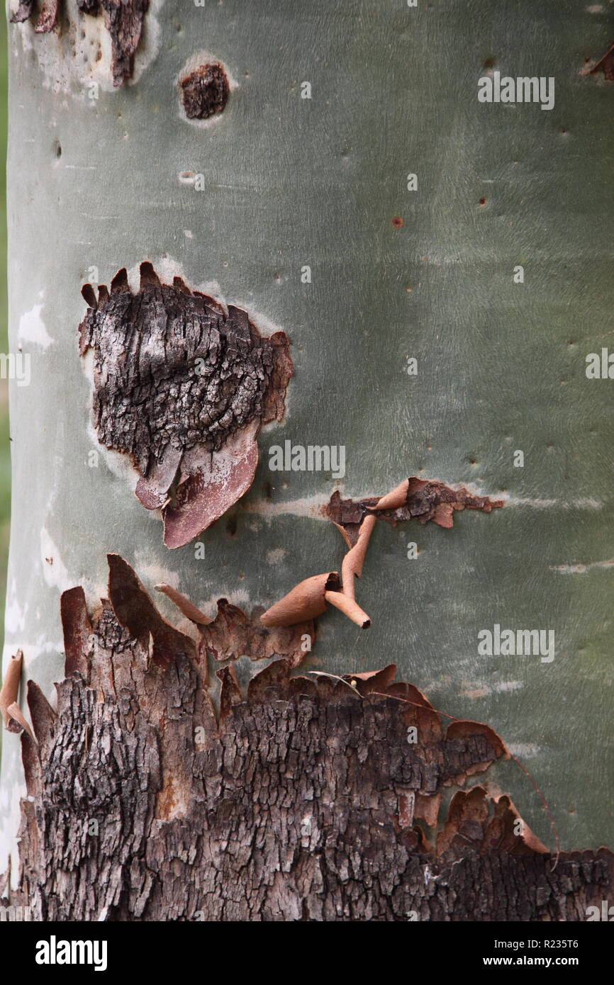 Cadaghi Gum Trunk with rough Lower Bark & Smooth Upper Bark (Corymbia Torelliana) - Stock Image