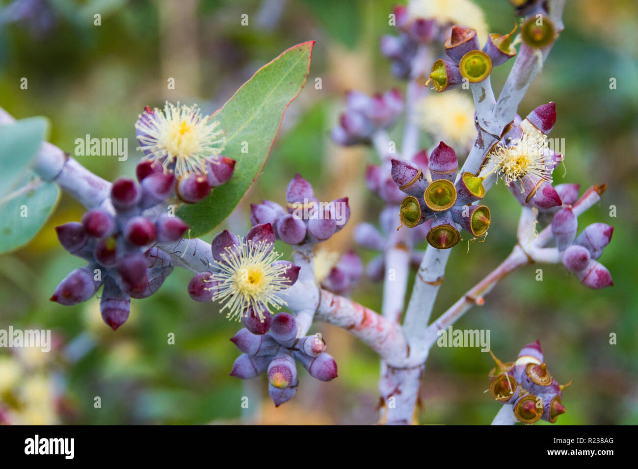 Gumnuts and flowers, Kings Park and Botanic Garden, Perth, Western Australia - Stock Image