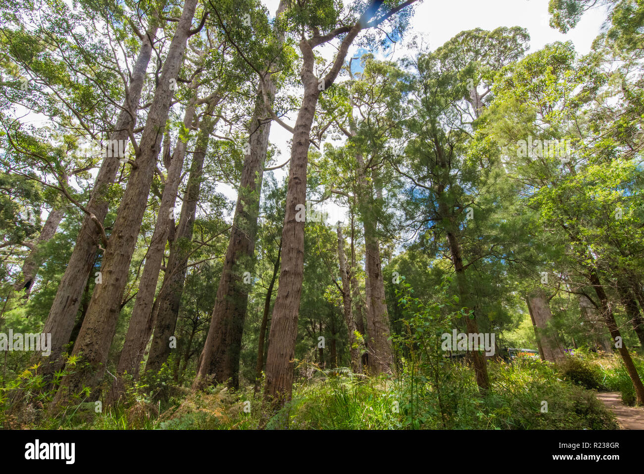 Tall trees, Valley of the Giants Tree Top Walk, Tingledale, Western Australia - Stock Image