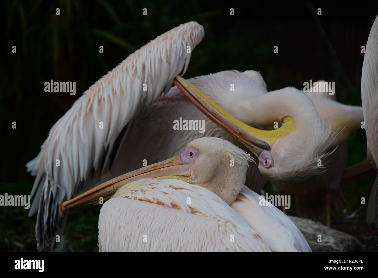 Pelicans with dark background - Stock Image