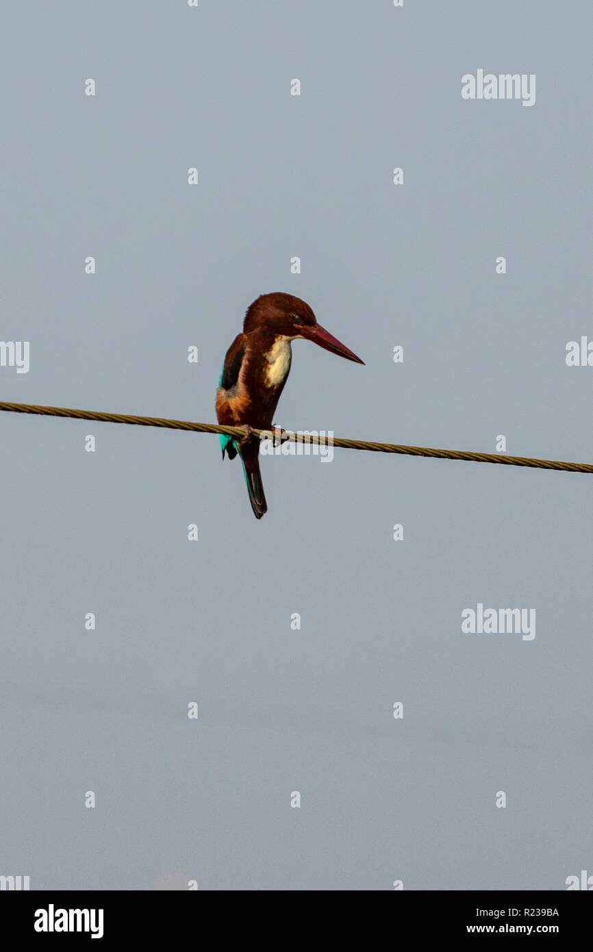 White-breasted Kingfisher, Halcyon smyrnensis fusca at Kerala Waters - Stock Image
