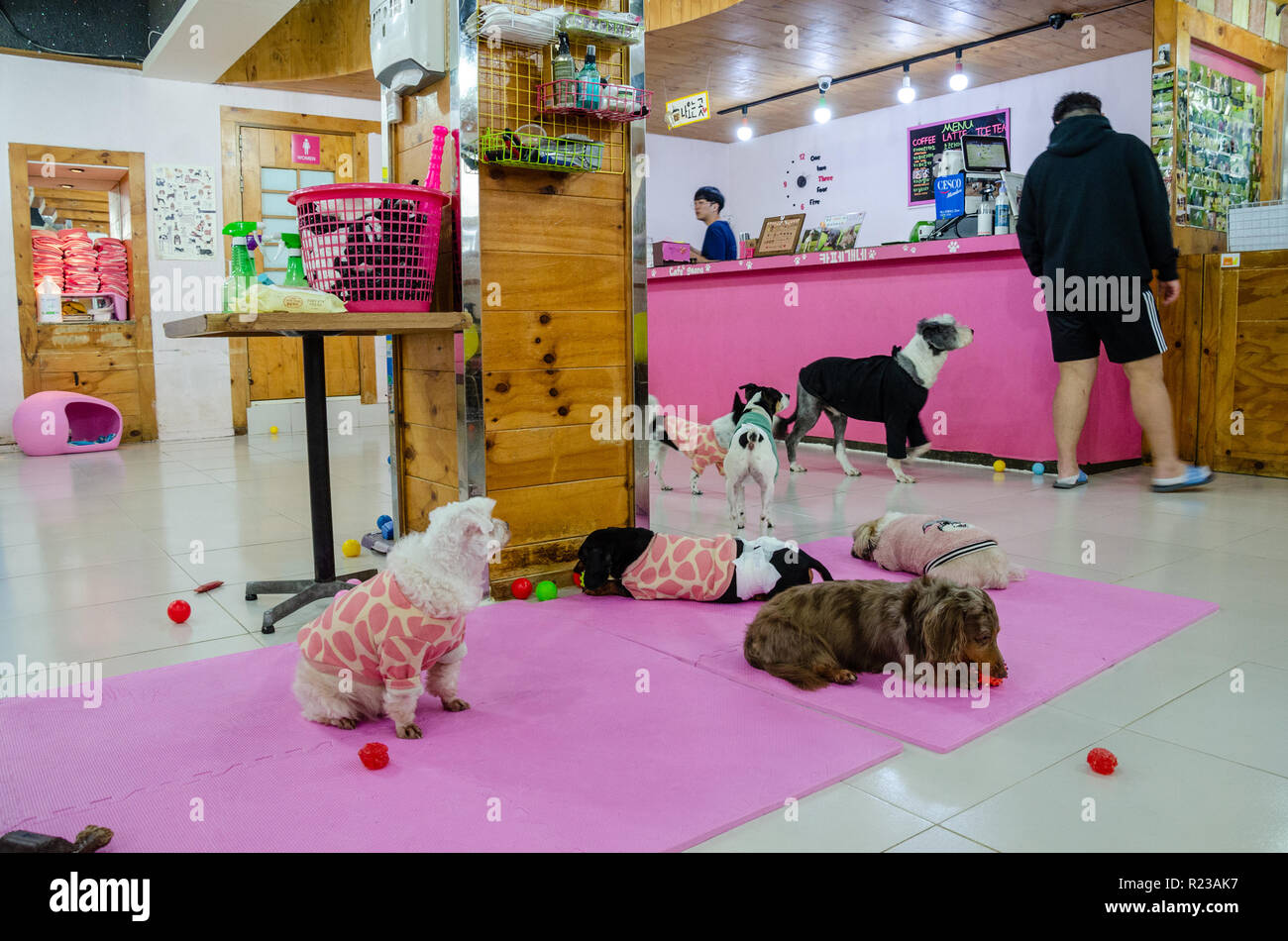 A dog cafe in Myeongdong in Seoul in south Korea with oink decor and lots of small dogs. - Stock Image