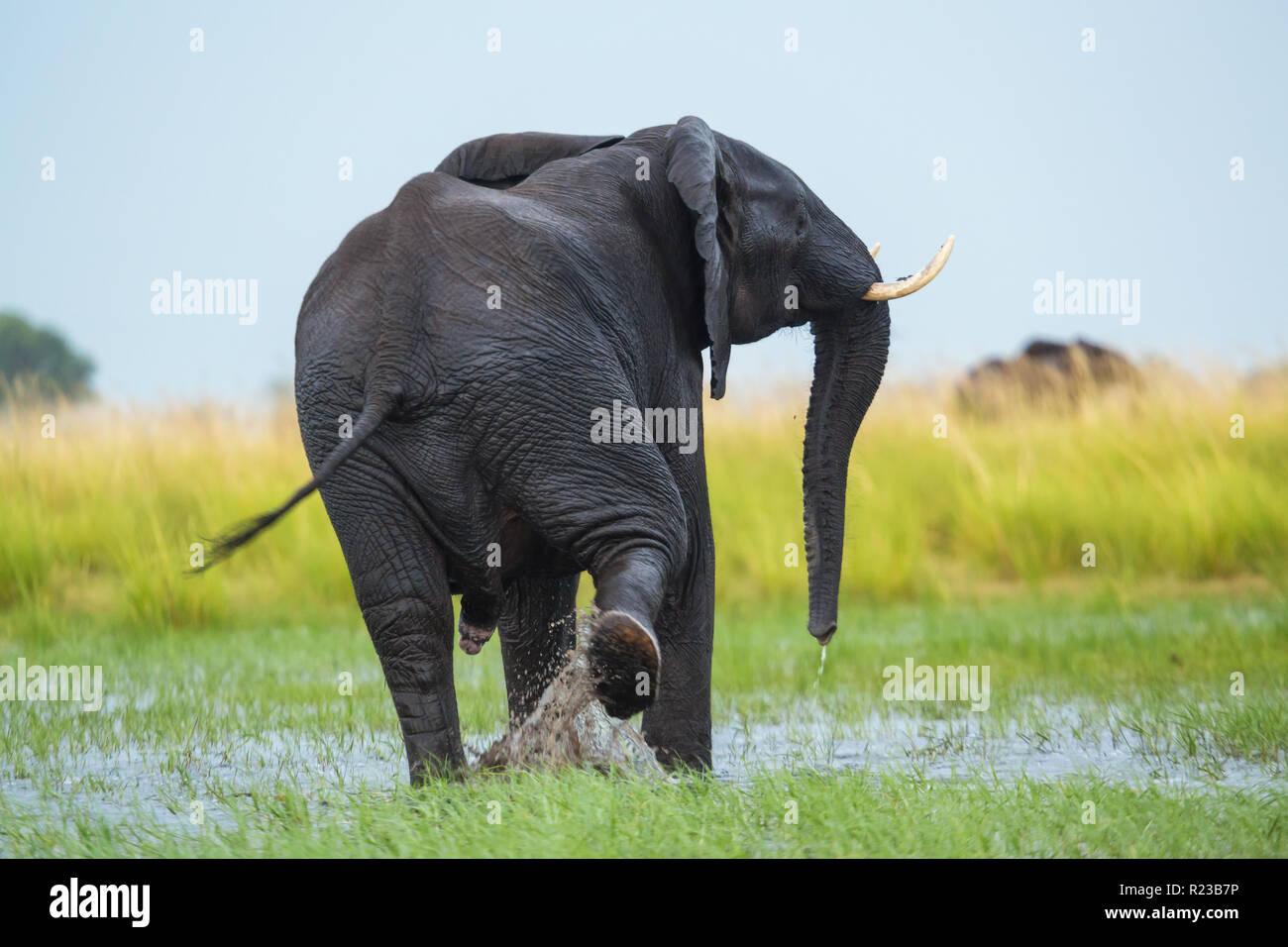 Elephant in Chobe National Park, Botswana, Africa Stock Photo