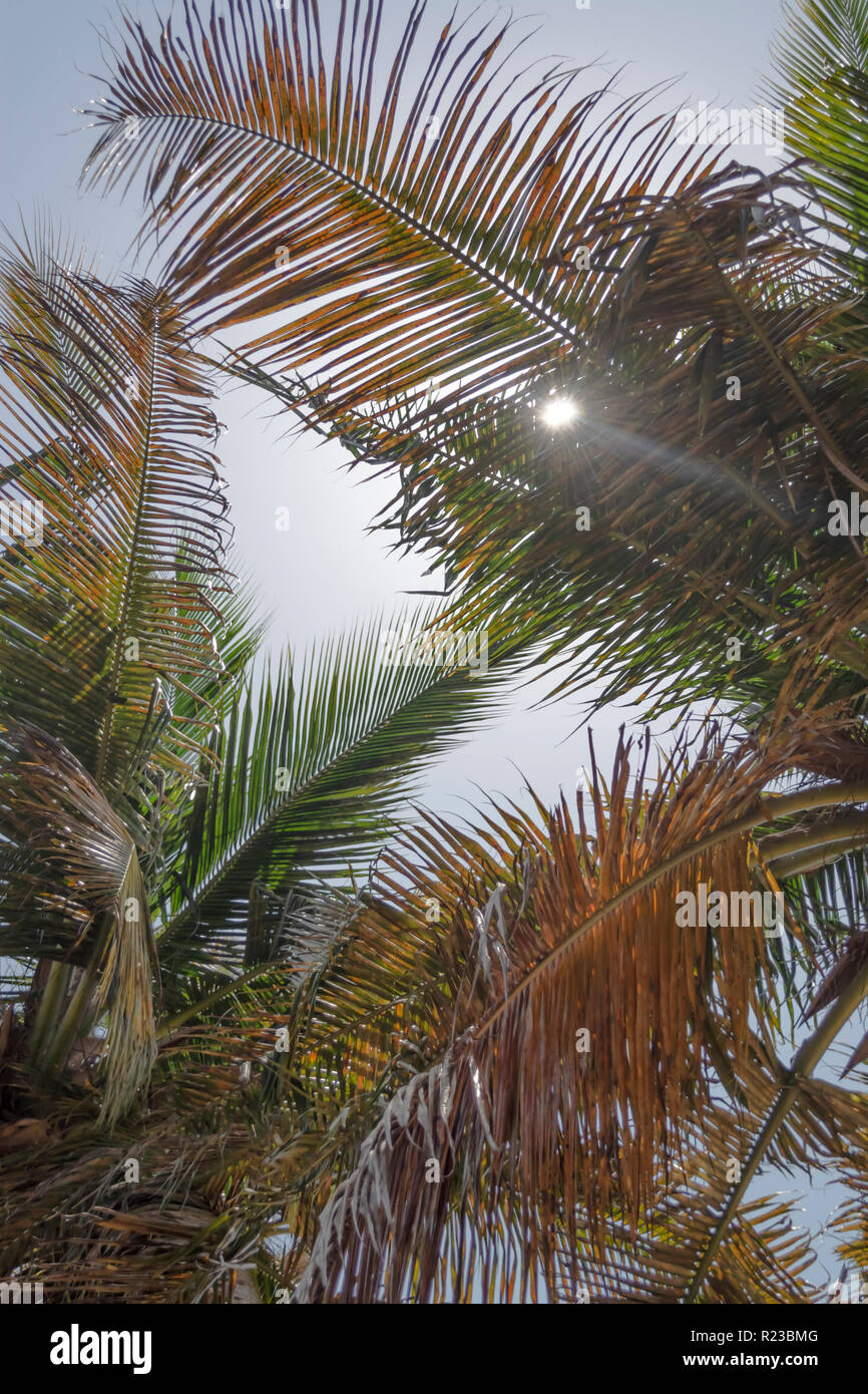 Detailed view of palm trees leafs with sun and sky, on the island of Mussulo, Luanda, Angola... - Stock Image