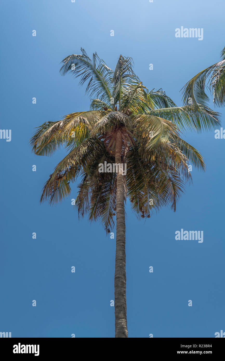 Detailed view of palm tree on the island of Mussulo, Luanda, Angola... - Stock Image