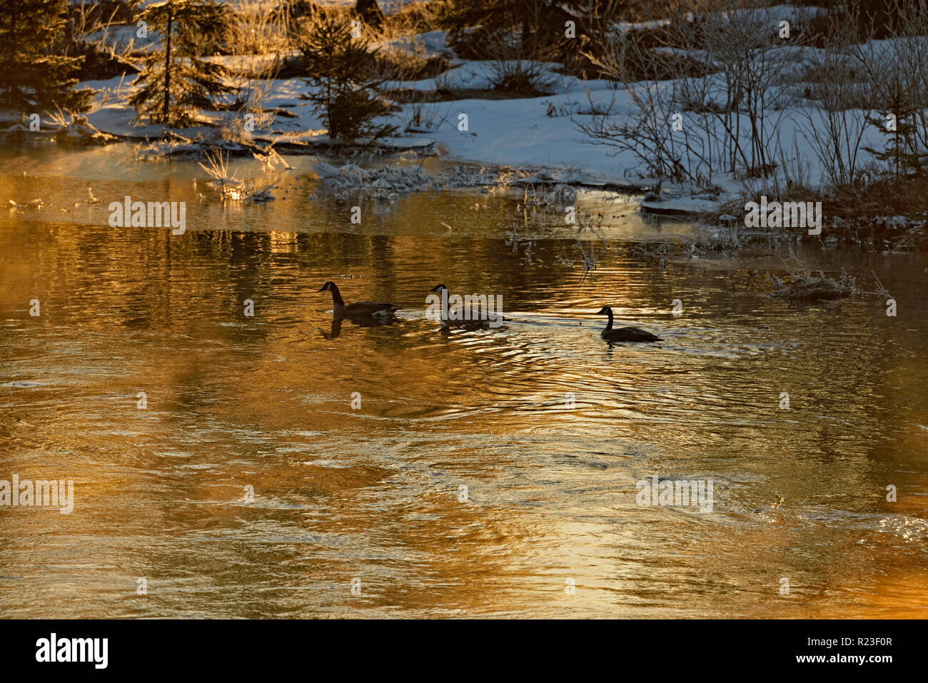 Migratory geese swimming in Junction Creek at dawn, Greater Sudbury, Ontario, Canada - Stock Image