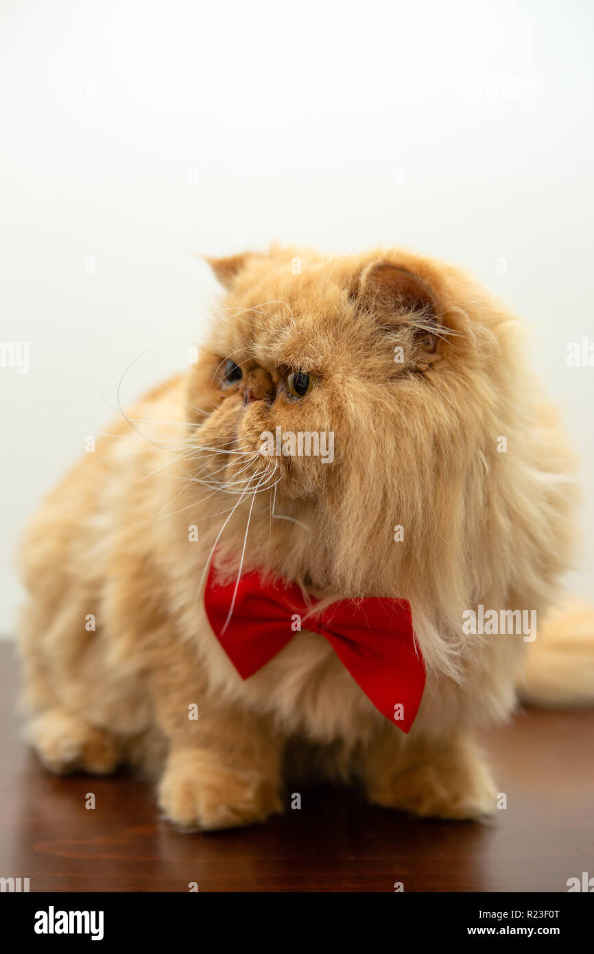 Image of ginger cat in red bow tie sitting - Stock Image